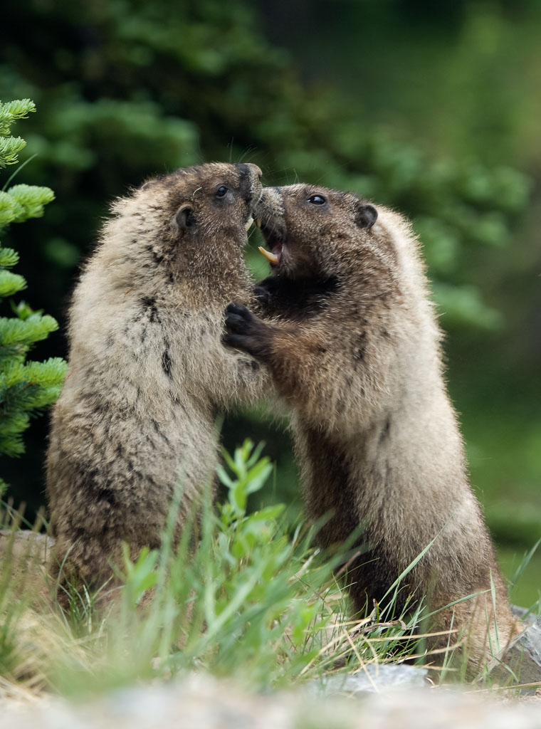 Marmot pair showing teeth