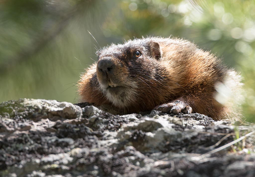 Marmot peering over rock-2