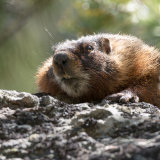 Marmot peering over rock-2
