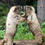 Marmot stand-off wrestling