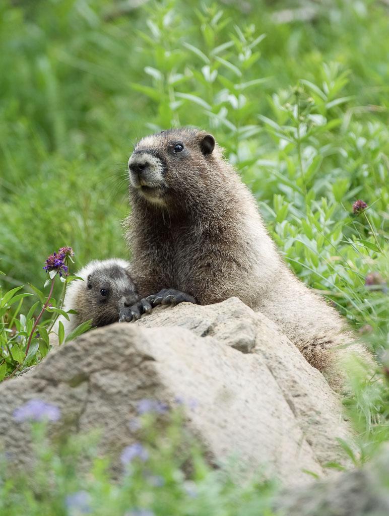 Marmot with cub