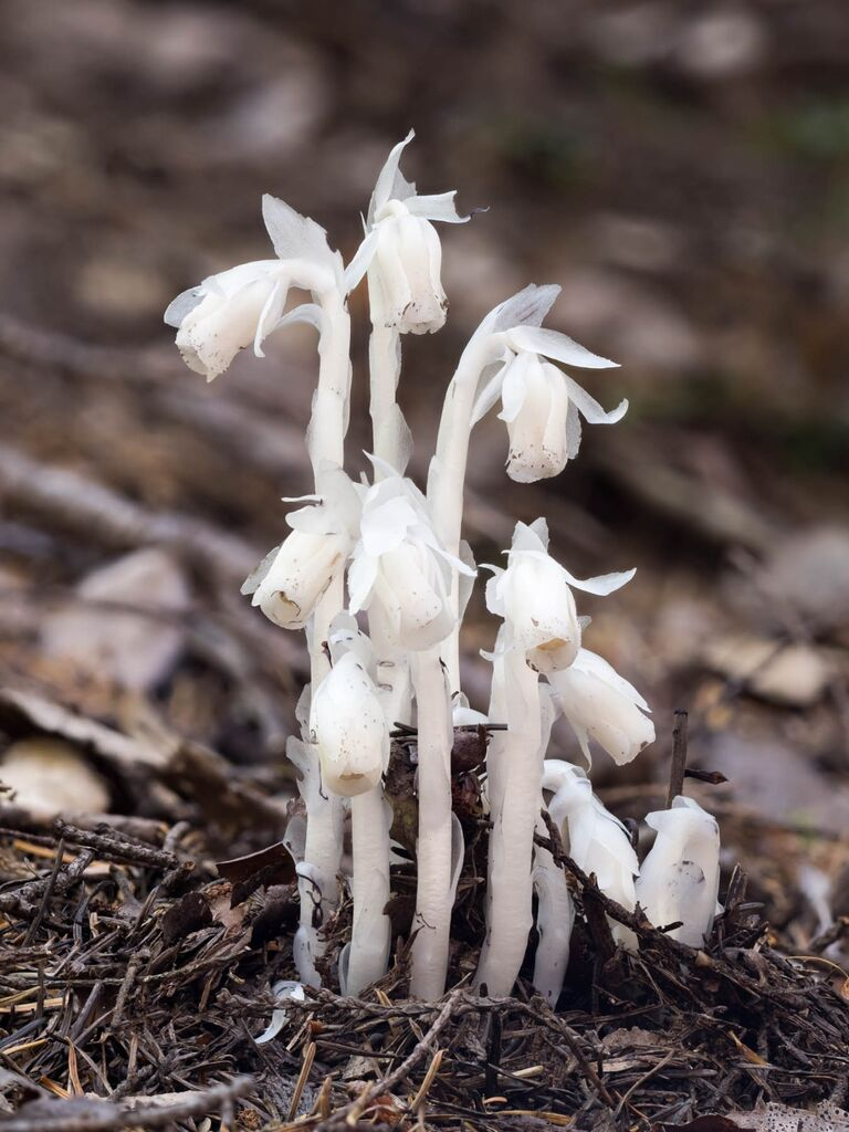 Monotropa uniflora ghost plant Indian pipe corpse plant