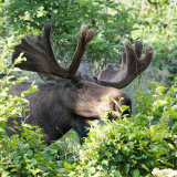 Moose eating saplings-2