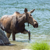 Moose leaving water