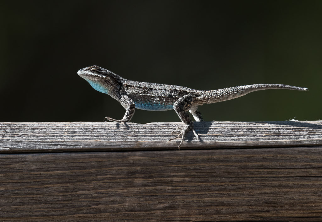 Mountain-spiny Lizard on fence