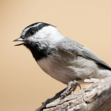 Mountain Chickadee calling
