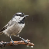 Mountain Chickadee in rain