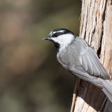 Mountain Chickadee showing all rear feathers-2