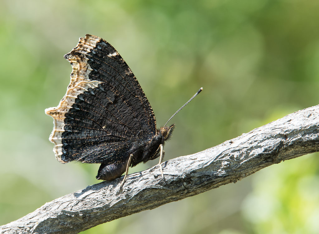 Mourning Cloak butterfly closed