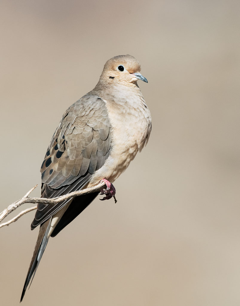 Mourning Dove in desert