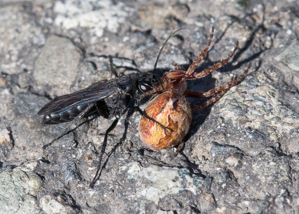 Mud-dauber with spider