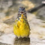 Nashville Warbler in water-2