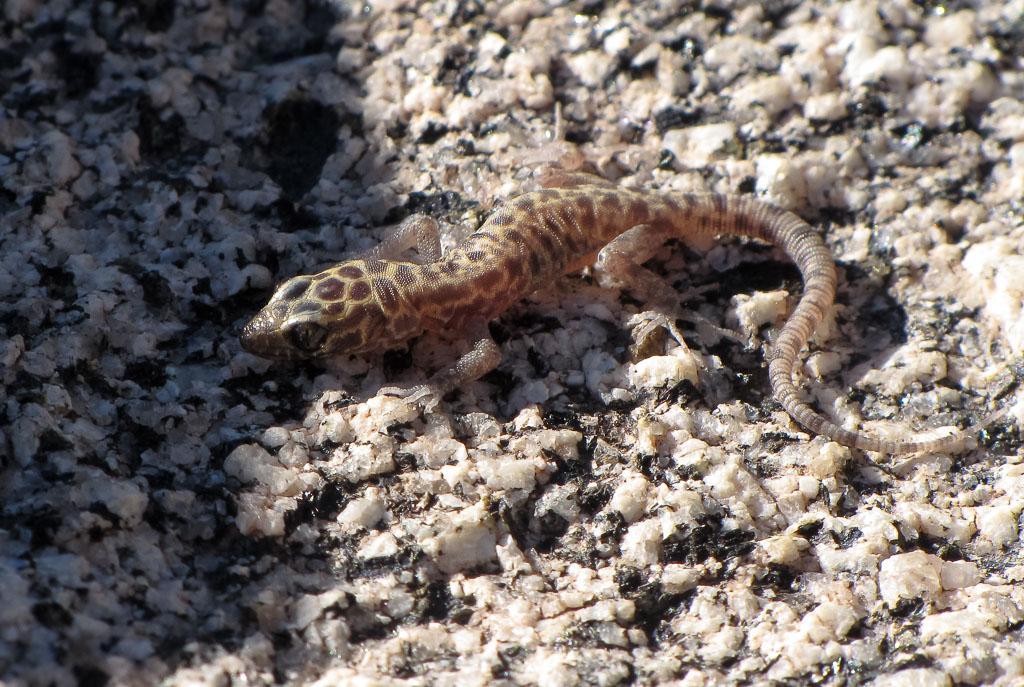 Night Granite Lizard