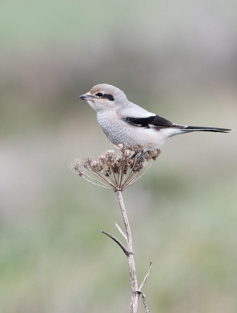 Northern-shrike on dead seed head-2