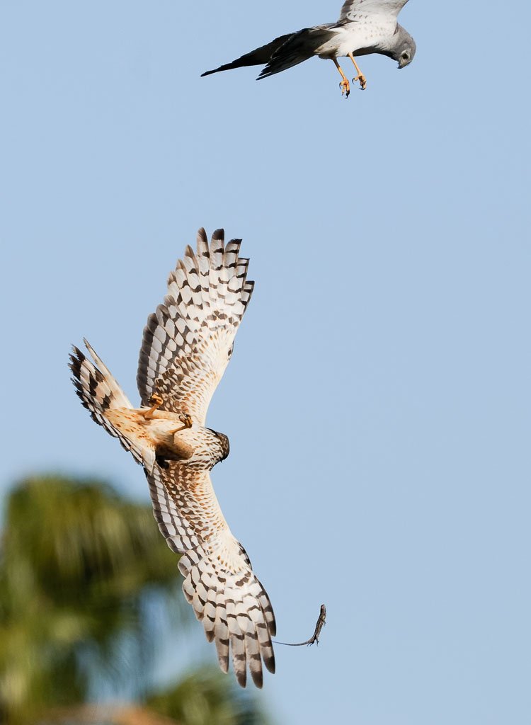 Northern Harrier passing lizard in flight