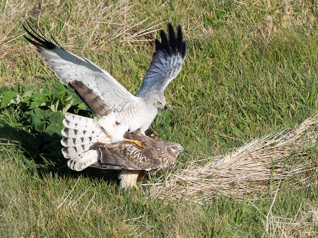 Northern Harriers mating