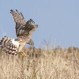 Northern  Harrier female quartering land