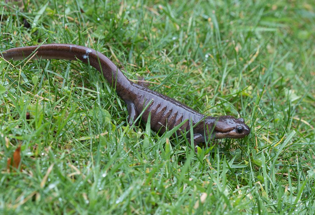 Northwestern Salamander in wet grass
