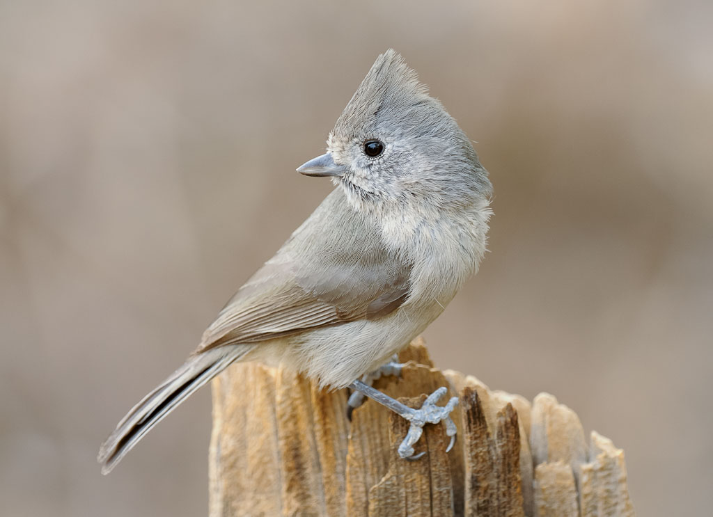 Oak Titmouse looking back