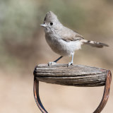 Oak Titmouse on garden spade