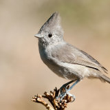 Oak Titmouse showing top knot