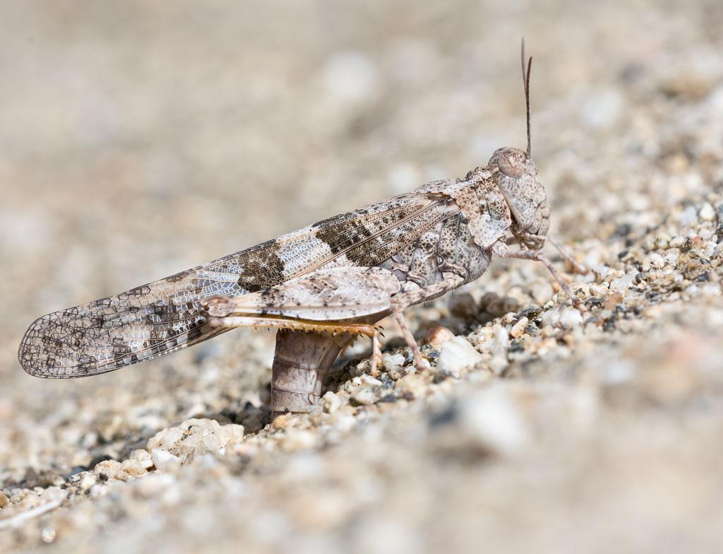 Pallid-winged Grasshopper depositing eggs-2