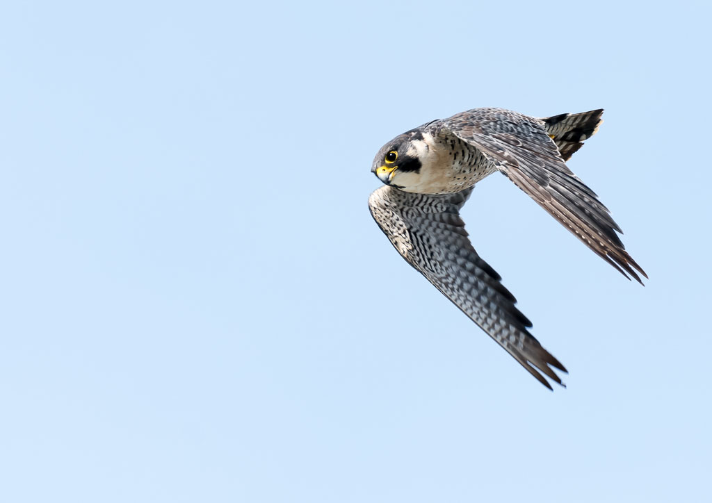 Peregrine in flight-2