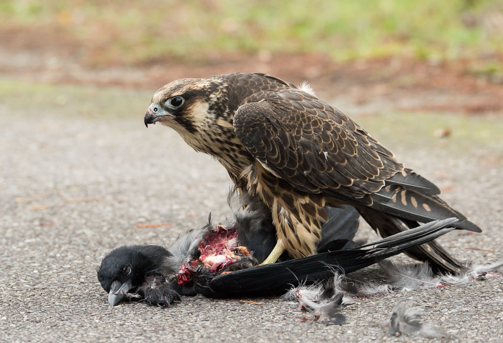 Peregrine juvenile with dead crow