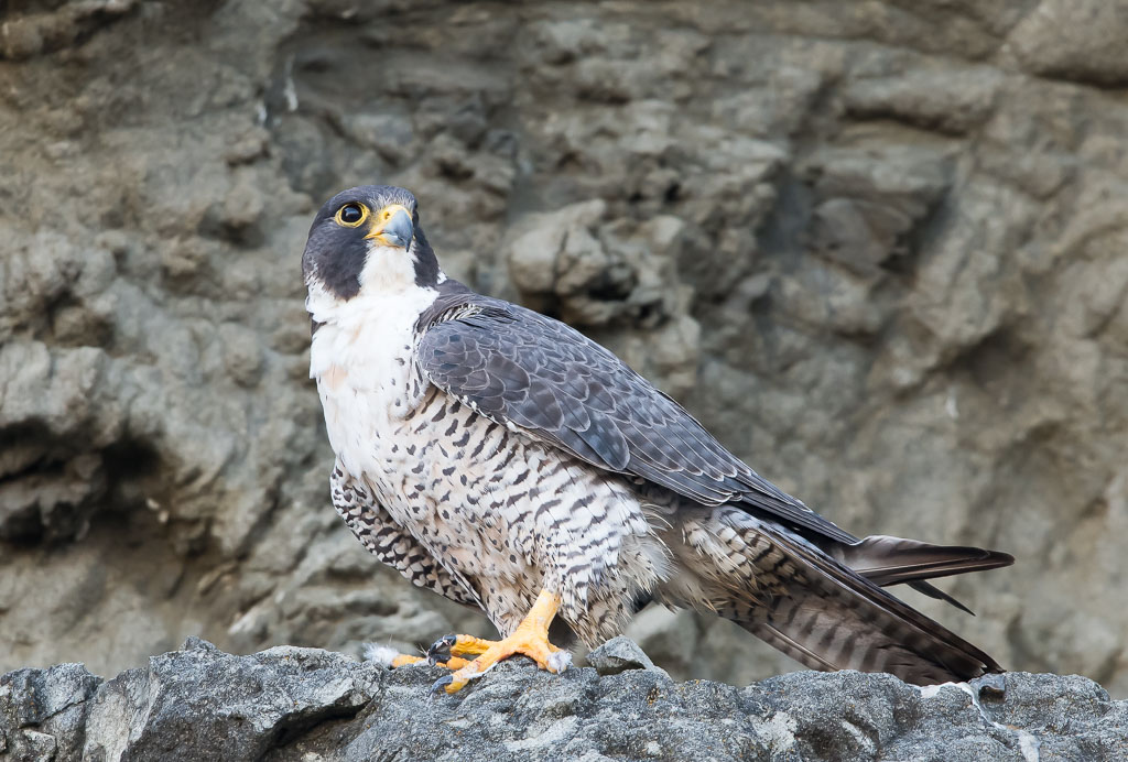 Peregrine sitting on rock face