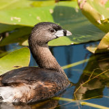 Pied billed Grebe in lilly pads
