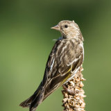 Pine Siskin on dead seed head
