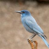 Pinyon Jay full plumage