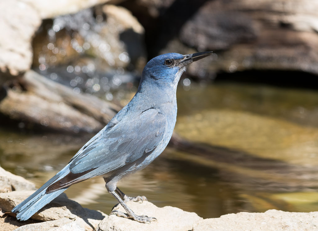 Pinyon Jay having a drink
