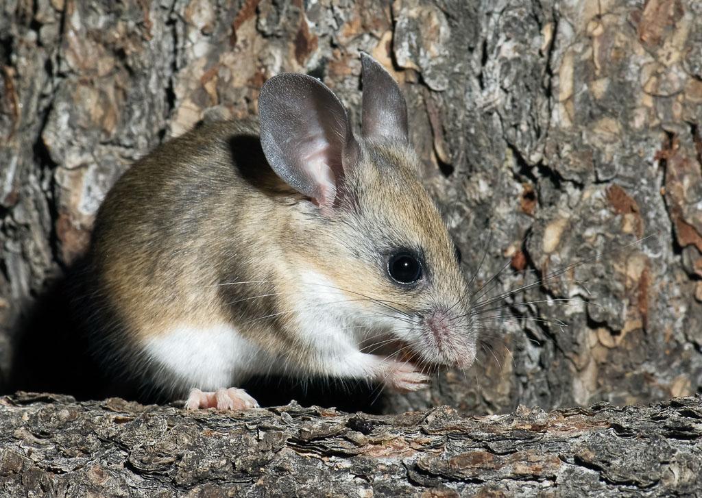 Pinyon Mouse eating