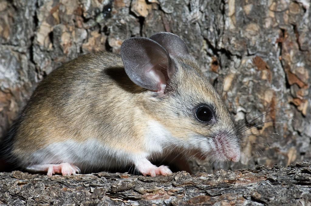 Pinyon Mouse on Pinyontree branch