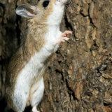 Pinyon Mouse reaching up