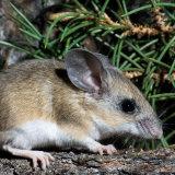 Pinyon Mouse with pinyon needles