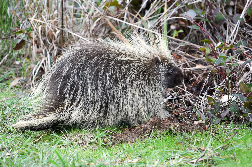 Porcupine out in daytime