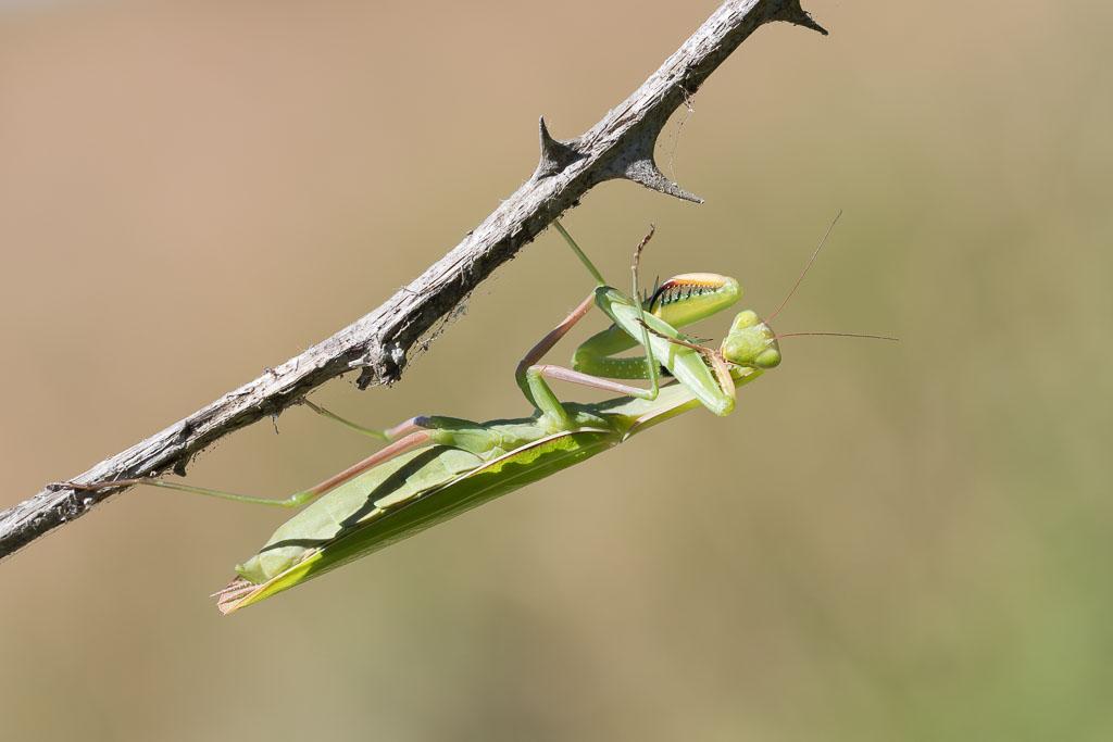 Praying Mantis European