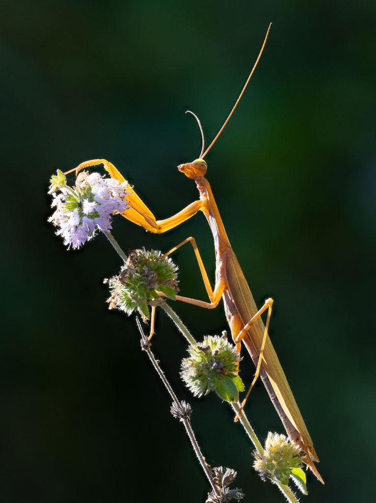 Praying mantis on mint