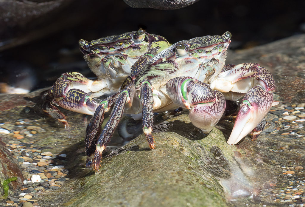 Purple Shore Crabs