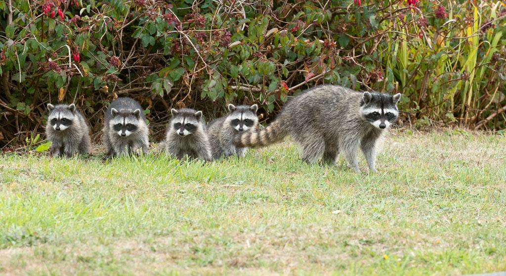 Raccoon family-2