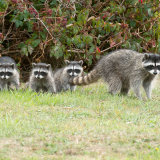 Raccoon family-2