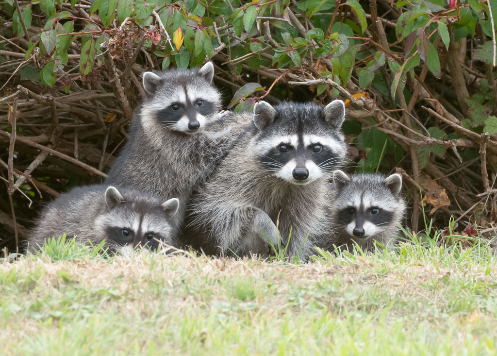 Raccoon family under bush-2