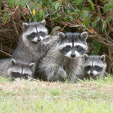 Raccoon family under bush-2