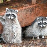 Raccoons up to mischief