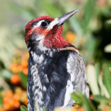 Red-naped Sapsucker in Pyrocanthus