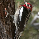 Red-naped Sapsucker on Pinyon tree trunk