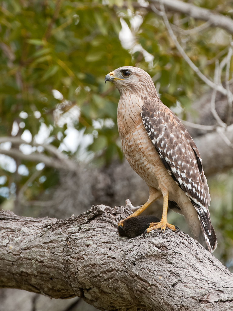 Red-shouldered Hawk with vole