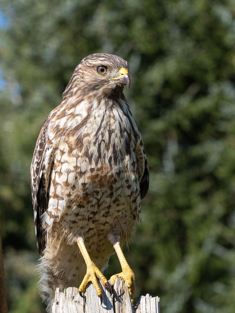 Red-shouldered hawk.